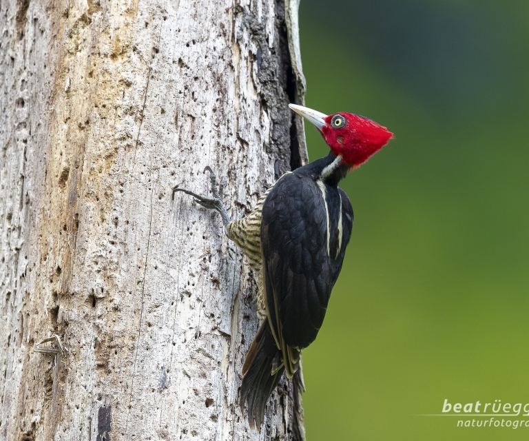Königsspecht - Pale-billed Woodpecker