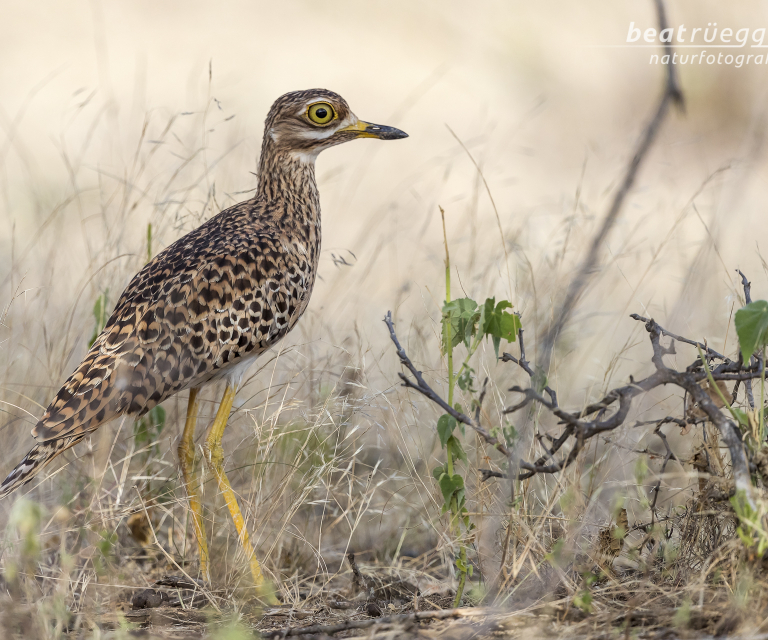 Kaptriel - Spotted Thick-knee_